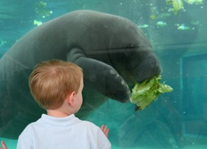 Manatees are in the elephant family! Water ellies!
