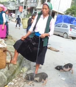 Vietnamese potbellied piglets for sale.